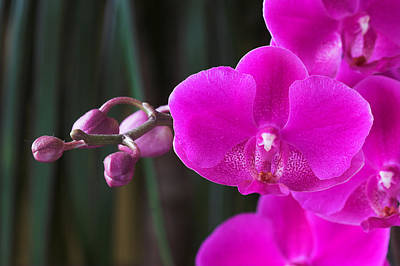 Photograph - Orchid 18 by Pierre Leclerc Photography