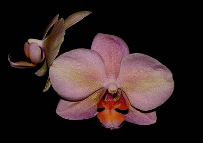 Photograph - Orchid 2016 3 by Robert Morin