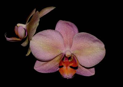 Orchid 2016 3 Art Print