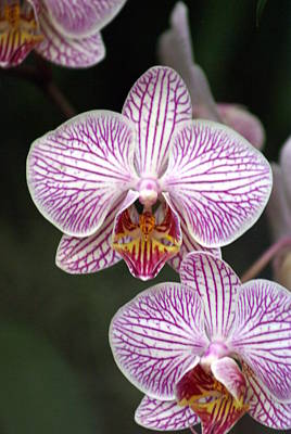 Orchid 22 Art Print by Marty Koch
