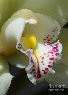 Photograph - Orchid 257 by Rudi Prott