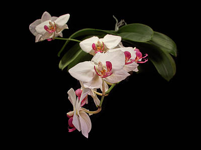 Photograph - Orchid 3 by Jouko Lehto