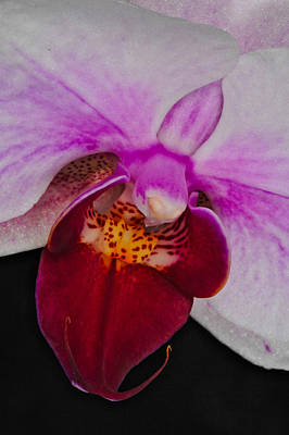 Photograph - Orchid 376 by Wesley Elsberry