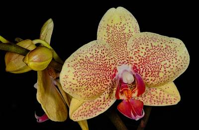 Photograph - Orchid 377 by Wesley Elsberry