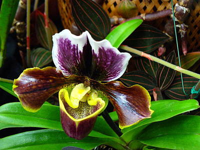 Photograph - Orchid 5 by Peggy King