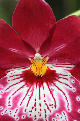 Photograph - Orchid 8 by Pierre Leclerc Photography