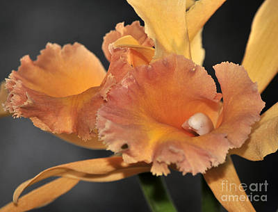 Blc Photograph - orchid 955 Orange Brassolaeliocattleya by Terri Winkler