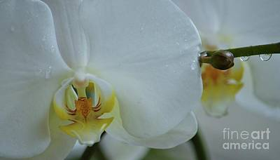 Raindrops On Orchids Photograph - Pure Orchid Art by Poet's Eye