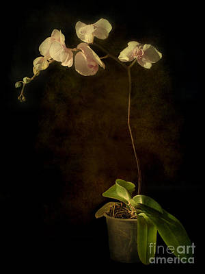 Photograph - Orchid  by Barbara Corvino