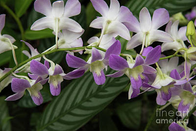 Photograph - Orchid Beauty by Sandy Molinaro