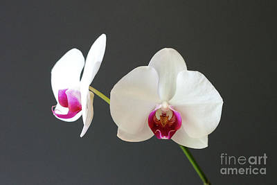 Photograph - Orchid Blooms by Laurel Best