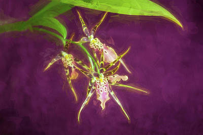 Photograph - Orchid Bratonia Miltassia Shelob Tolkien 001 by Rich Franco