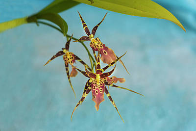 Photograph - Orchid Bratonia Miltassia Shelob Tolkien 003 by Rich Franco