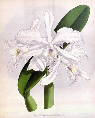 Orchid, C. Crispa Delicatissima, 1891 Print by Biodiversity Heritage Library