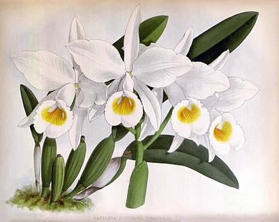 Orchid, C. Eldorado Virginalis, 1891 Print by Biodiversity Heritage Library