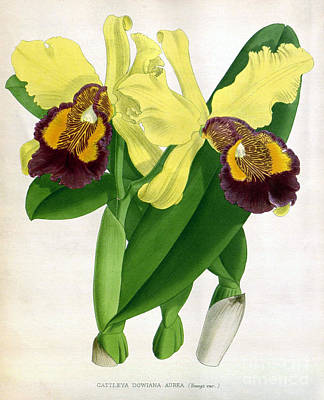Orchid, Cattleya Dowiana Aura, 1891 Art Print by Biodiversity Heritage Library