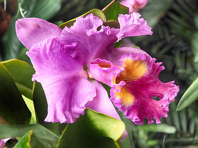 Photograph - Orchid Cattleya Drumbeat Heritage by C H Apperson