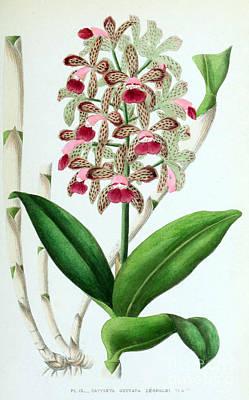 Orchid, Cattleya Guttata Leopoldi, 1880 Print by Biodiversity Heritage Library
