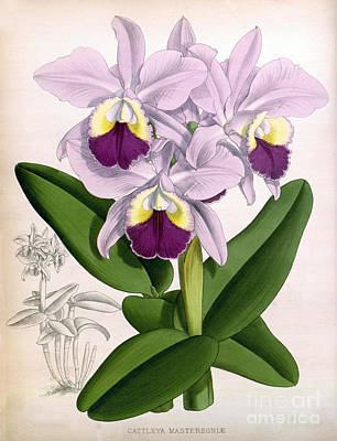 Orchid, Cattleya Mastersoniae, 1891 Print by Biodiversity Heritage Library