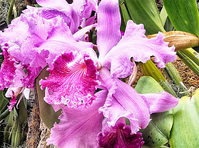 Photograph - Orchid Cattleya Saint Louis by C H Apperson