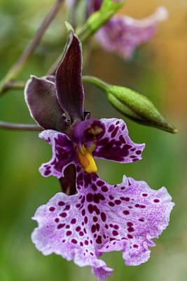Orchid - Caucaea Rhodosticta Art Print