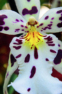 Photograph - Orchid Cross by Stewart Helberg