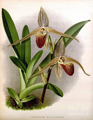 Orchid, Cypripedium Elliottianum, 1891 Print by Biodiversity Heritage Library