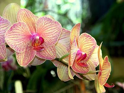 Orchid Delight Art Print by Karen Wiles