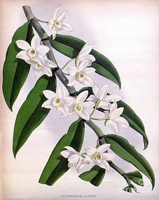 Orchid, Dendrobium Album, 1891 Art Print
