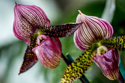 Photograph - Orchid Duo by Susie Weaver