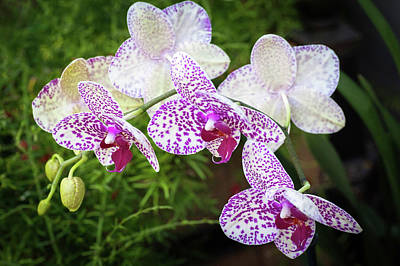 Photograph - Orchid Flower by Catherine Lau