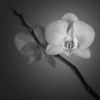 White Orchid Photograph - Orchid Flower Still Life by Ian Barber