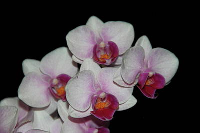 Photograph - Orchid Glory by Allen Nice-Webb