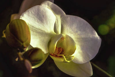 Photograph - Orchid Glow by John Rivera