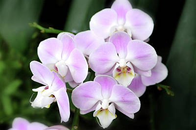 Photograph - Orchid I by Ronald Horsley