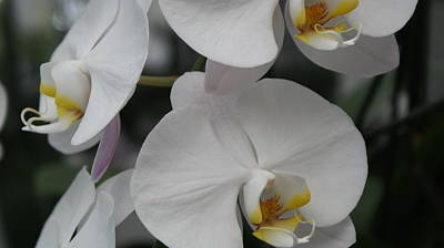 Photograph - Orchid II by Louise Fahy