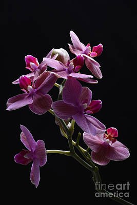 Photograph - Orchid In Flight by Robert WK Clark