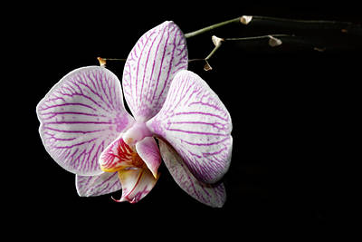 Photograph - Orchid In The Dark by Martin Capek