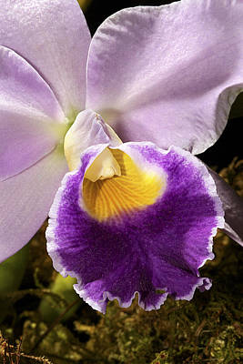 Photograph - Orchid Is Beautiful by Phyllis Denton