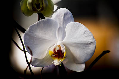 Orchid Art Print by John Ater