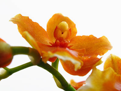 Photograph - Orchid by Juergen Roth