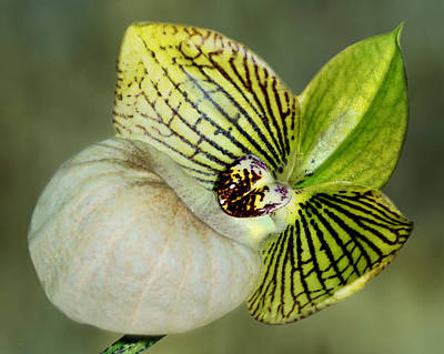 Orchid - Lady Slipper Art Print