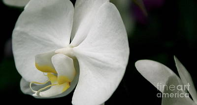 Photograph - Orchid by Louise Fahy