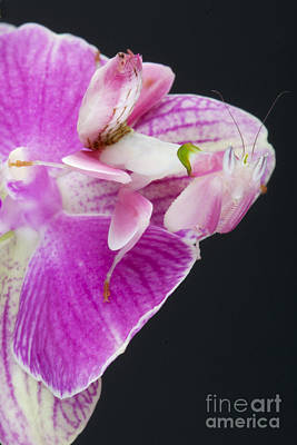 Orchid Mantis Art Print by Reptiles4all