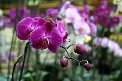 Orchid Number 8 Original