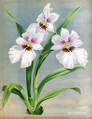 Orchid, O. Bleuanum Splendens, 1891 Print by Biodiversity Heritage Library