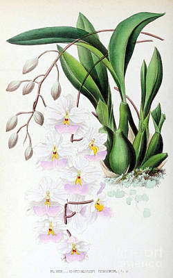 Orchid, Odontoglossum Citrosmum, 1880 Print by Biodiversity Heritage Library