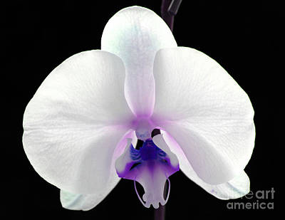 White Orchid Photograph - Orchid Of Grace by Krissy Katsimbras