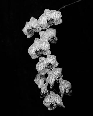 Photograph - Orchid On Black by Paula Ponath