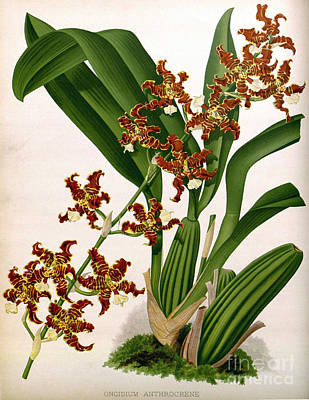 Orchid, Oncidium Anthrocrene,1891 Print by Biodiversity Heritage Library